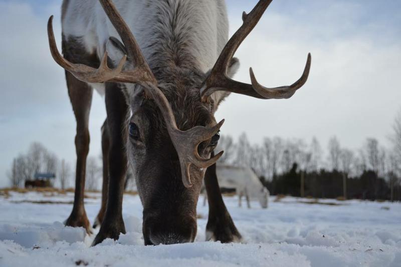 Renen Rudolf på Renranchen i Kluk.