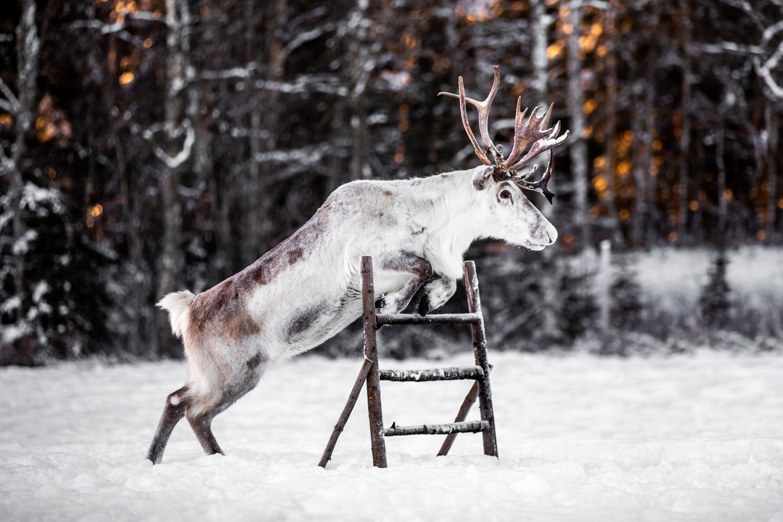reindeer-renar-hoppning-frost-ullis-rudolf-renranchen-kluk