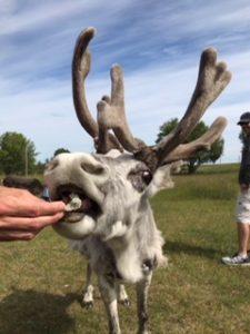 Renranchen-kluk-renar-reindeer