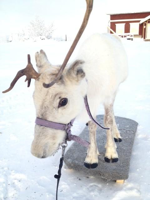 Plattformsträning med Frost. Han är så vit att han nästan blir osynlig i snön.