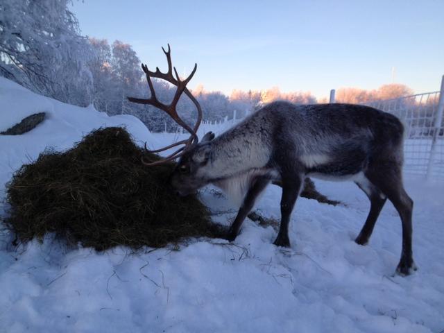 Rudolf tycker att det är smaskigt med ensilage!