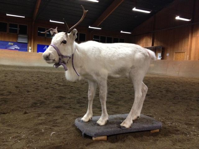 Frost tränar att stå stilla på plattform i Wångens ridhus.