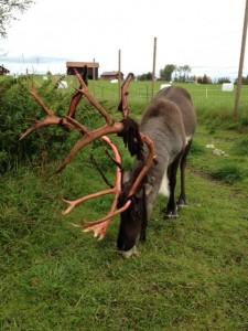 Rudolf mitt i fejningen.