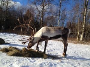 Rudolf njuter av sin frukost.