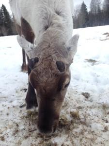 v.11 Rudolfs horn har precis börjat växa.