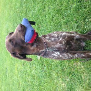 vorsteh-stående fågelhund-apporterande fågelhund-jaktapportering-jaktkurs-apporteringskurs-jaktapporteringskurs-klickerträning-klickerkurs-grundfärdigheter-dille-hundkurs