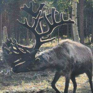 Rentjur i Alaska, på Cooper Kettle Farm.