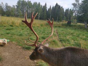 Sven med sina nyfejade horn, på Renranchen i Kluk.