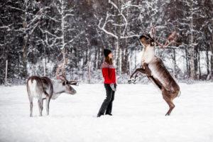 Rudolf-vide-renranchen-ullis-rudolf-kluk-reindeer-renar