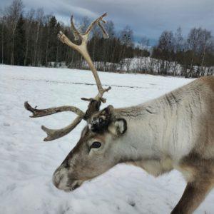 vide-renranchen-kluk-renar-renhorn-reindeer-vårtecken