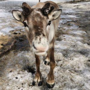 renranchen-vide-renar-reindeer-Åre-djurpark