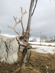 fred-reindeer-renar-renranchen-renoxe-kluk-verkning