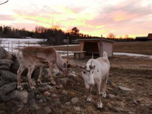 renranchen-frost-vide-renar-reindeer-kluk-kvällssol