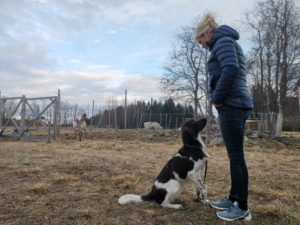 renrenhet-kluk-renar-jakthund-reindeer-hundträning-klickerträning